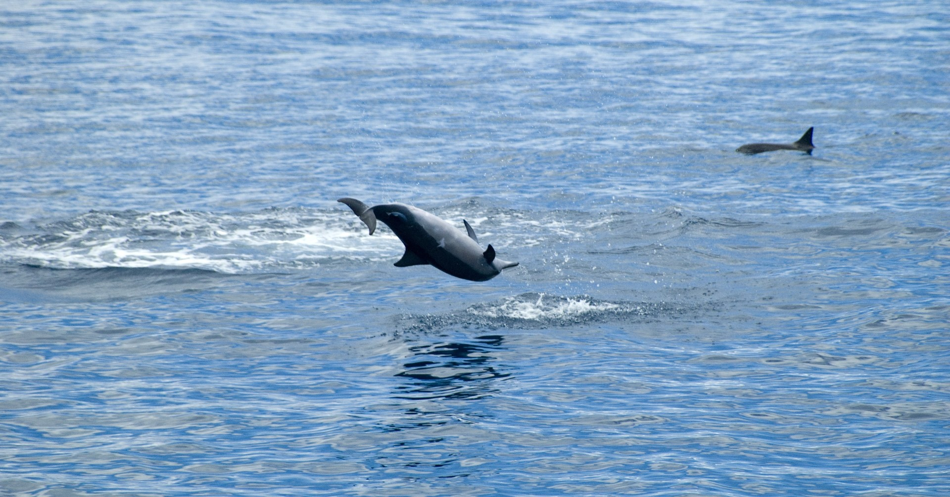 Bigs Dolphins Jumping Out Of Bay Big Island Hawaii E1 Large